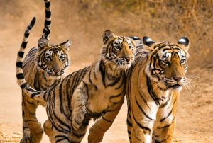 Essence of India with Ranthambore (8 Days Luxury Gold)